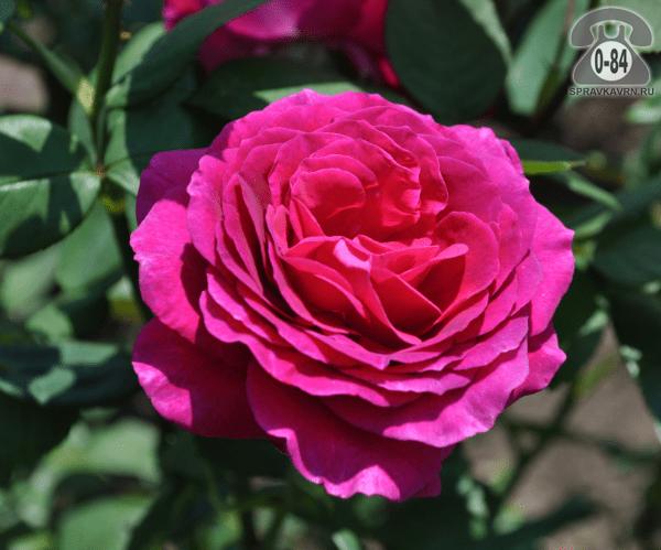 Саженцы декоративных кустарников и деревьев роза чайно-гибридная Биг Пурпул (Big Purple) кустистый лиственные зелёнолистный махровый малиновый закрытая С2 0.4 м