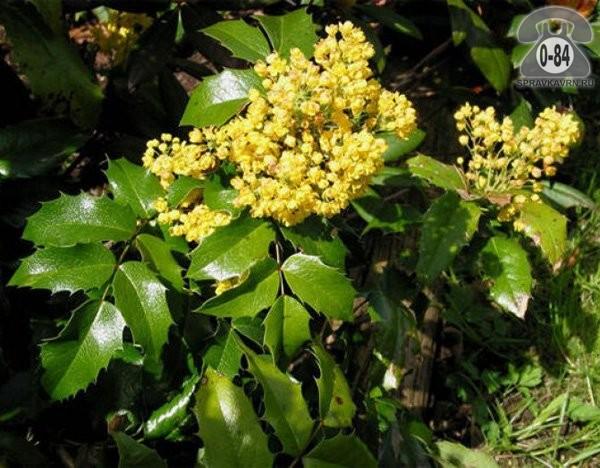 Саженцы декоративных кустарников и деревьев магония падуболистная лиственные зелёнолистный жёлтый Россия
