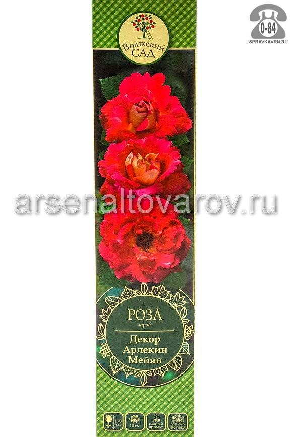 Саженцы декоративных кустарников и деревьев роза миниатюрная Клементина кустистый лиственные зелёнолистный чашевидный абрикосово-оранжевый открытая Россия