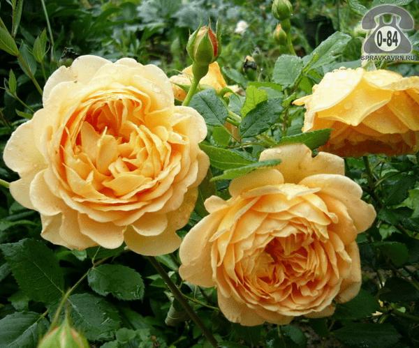 Саженцы декоративных кустарников и деревьев роза английская (Дэвида Остина) кустистый лиственные махровый закрытая С2 0.6 м Россия