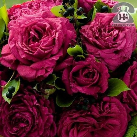 Саженцы декоративных кустарников и деревьев роза Флорибунда кустистый лиственные зелёнолистный открытая Россия