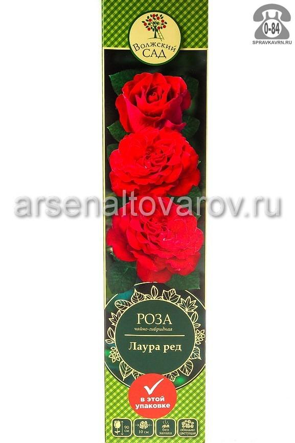 саженцы роза чайно-гибридная Лаура Ред красная (Россия)