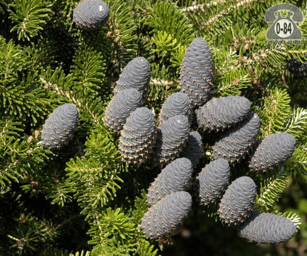 Саженцы декоративных кустарников и деревьев пихта корейская (Abies koreana) хвойные закрытая Россия