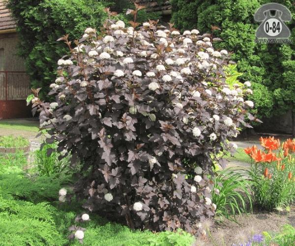 Саженцы декоративных кустарников и деревьев пузыреплодник калинолистный Пурпуреа (Purpurea) Диабло (Diablo) кустистый лиственные пурпурнолистный белый закрытая С2 0.6 м
