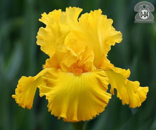 Посадочный материал цветов ирис (касатик) бородатый (гибридный) гибрид многолетник жёлтый корневище