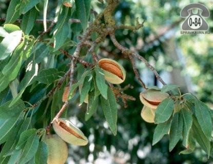 Саженцы декоративных кустарников и деревьев миндаль декоративный лиственные махровый открытая