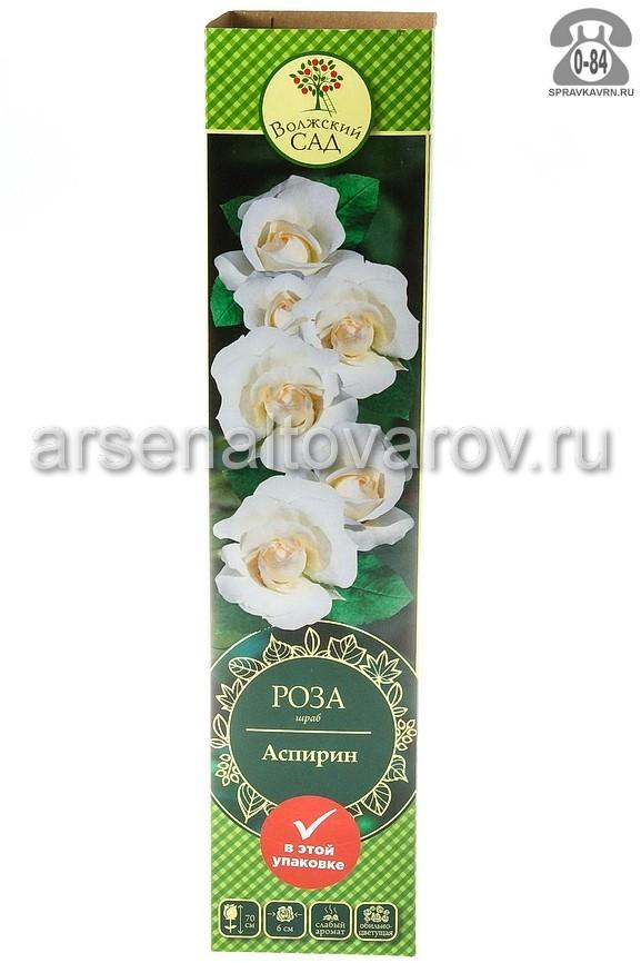 саженцы роза шраб Аспирин белая 226 (Россия)