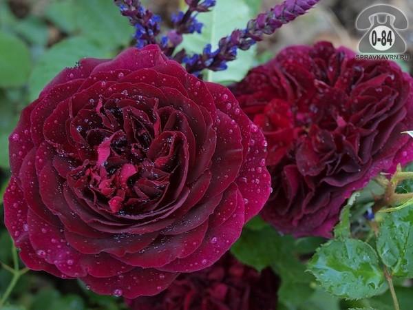 Саженцы декоративных кустарников и деревьев роза лиственные