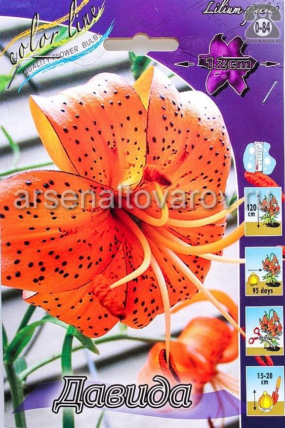 Клубнелуковичный цветок лилия видовая Давида