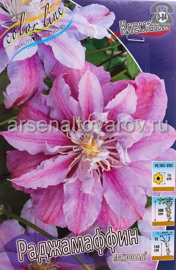 Посадочный материал цветов клематис Раджамаффин многолетник махровая корневище 2 шт. Нидерланды (Голландия)