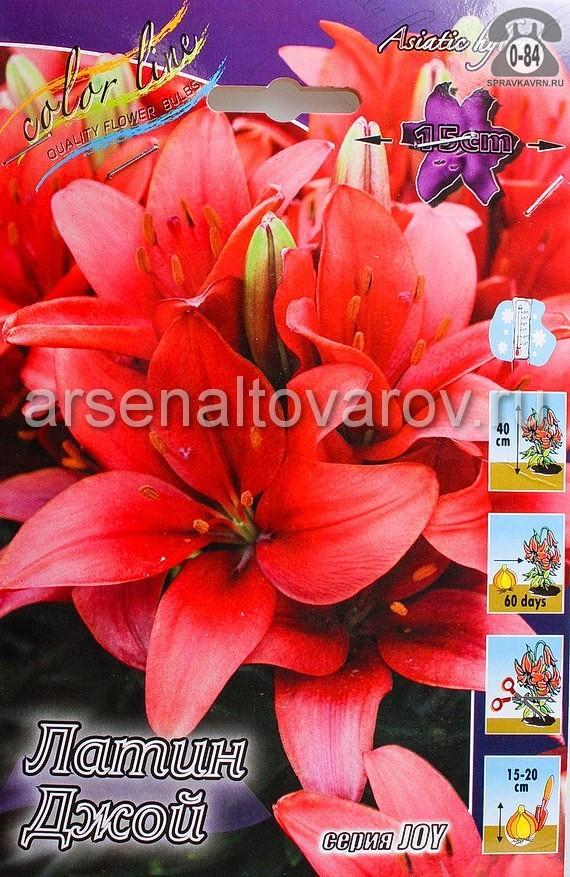 лилия азиатская низкорослая Латин Джой (в пакете 7 шт) цена за пакет луковичные (Голландия)