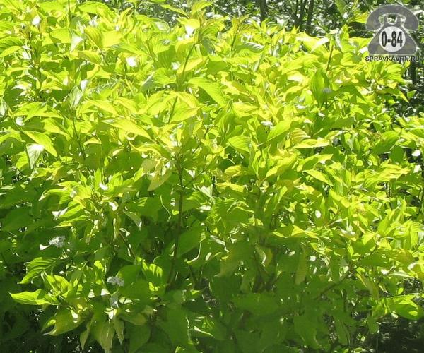 Саженцы декоративных кустарников и деревьев дёрен белый (татарский, свидина белая, сибирская) Ауреа (Aurea) кустистый лиственные желтолистный закрытая С2 0.6 м