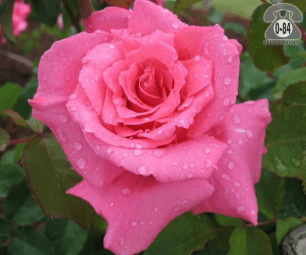 Удобрение минеральное для роз