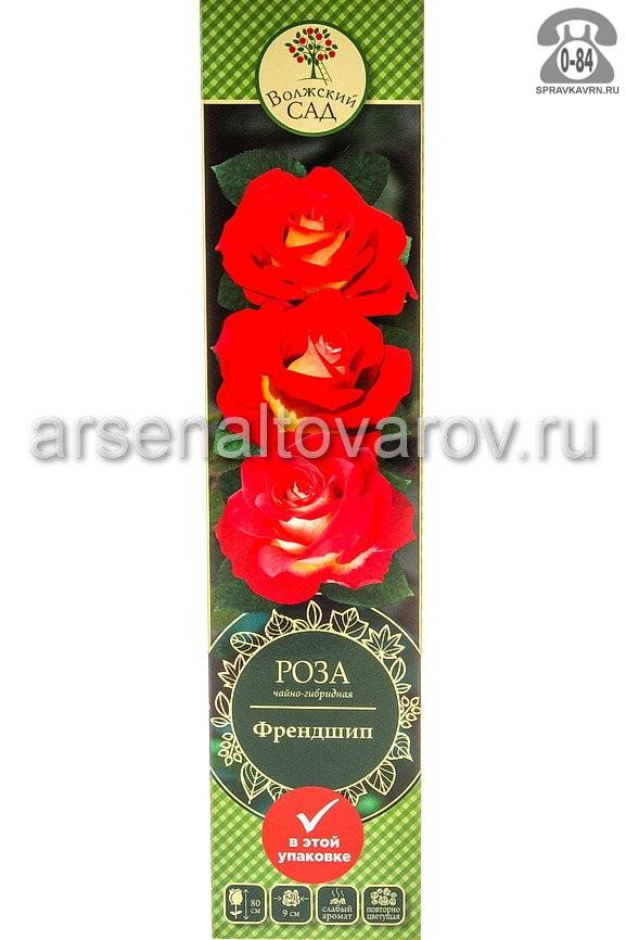 Саженцы декоративных кустарников и деревьев роза чайно-гибридная Френдшип кустистый лиственные зелёнолистный бокаловидный красный с жёлтым открытая Россия