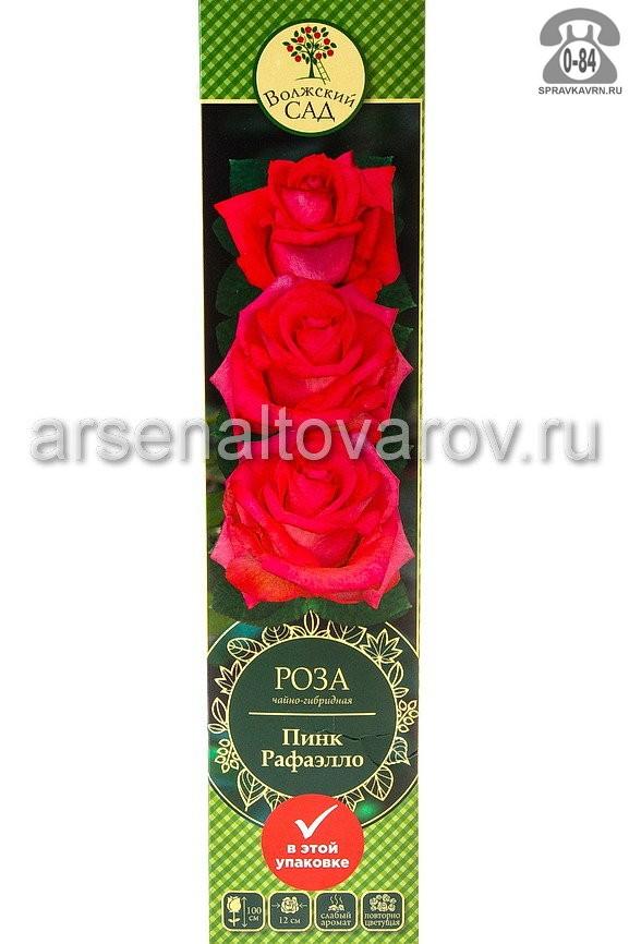 саженцы роза чайно-гибридная Пинк рафаэлло коралловая с кремовым (Россия)