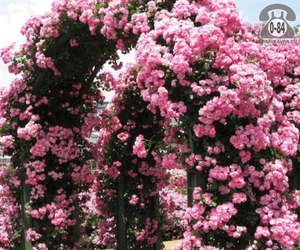 Саженцы декоративных кустарников и деревьев роза плетистая лиственные зелёнолистный махровый закрытая