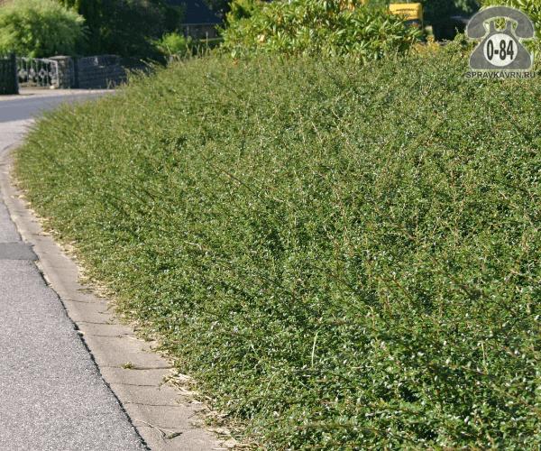 Саженцы декоративных кустарников и деревьев кизильник горизонтальный Даммера стелющийся лиственные зелёнолистный белый закрытая С2 0.1 м