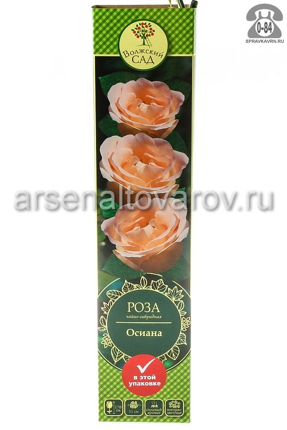 саженцы роза чайно-гибридная Осиана белая 079 (Россия)