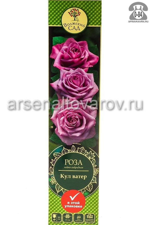 Саженцы декоративных кустарников и деревьев роза чайно-гибридная Кулватер кустистый лиственные зелёнолистный бокаловидный лиловый открытая Россия
