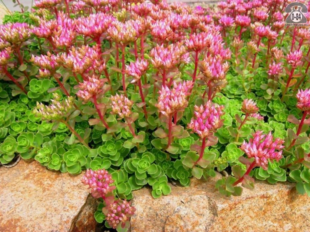 Разновидности цветов очиток