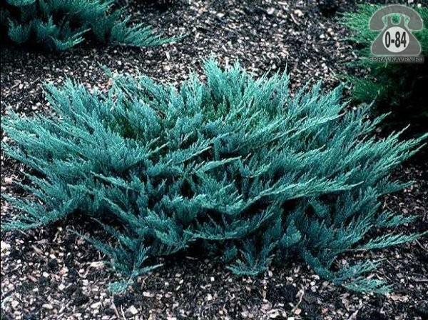 Саженцы декоративных кустарников и деревьев можжевельник горизонтальный Блю Чип (Blue Chip) стелющийся хвойные
