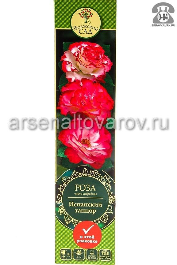 саженцы роза чайно-гибридная Испанский танцор кремовая с розовым (Россия)