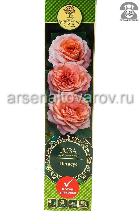 саженцы роза шраб Пегасус нежно-абрикосовая (Россия)