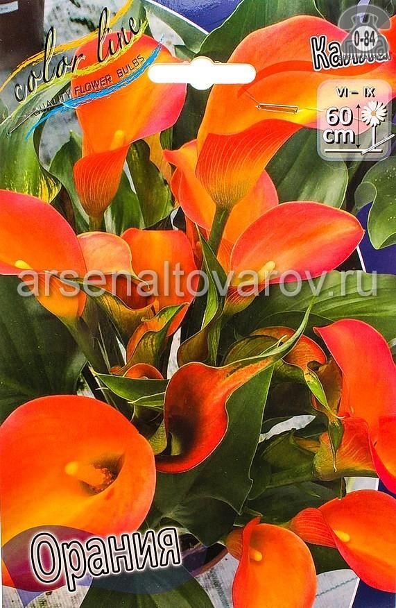 Посадочный материал цветов калла (белокрыльник) Орания многолетник клубень 2 шт. Нидерланды (Голландия)