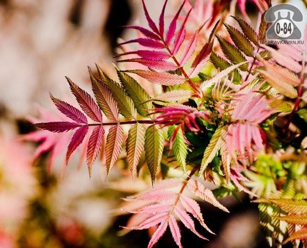 Саженцы декоративных кустарников и деревьев рябинник рябинолистный Сэм кустистый лиственные зелёнолистный белый закрытая С2 0.4 м