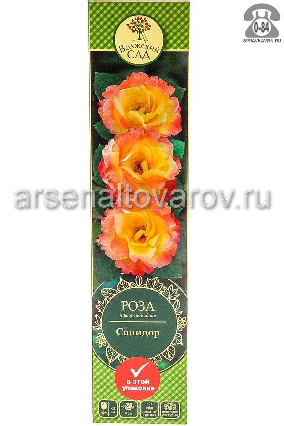 Саженцы декоративных кустарников и деревьев роза чайно-гибридная Солидор кустистый лиственные зелёнолистный бокаловидный ярко-жёлтый открытая Россия