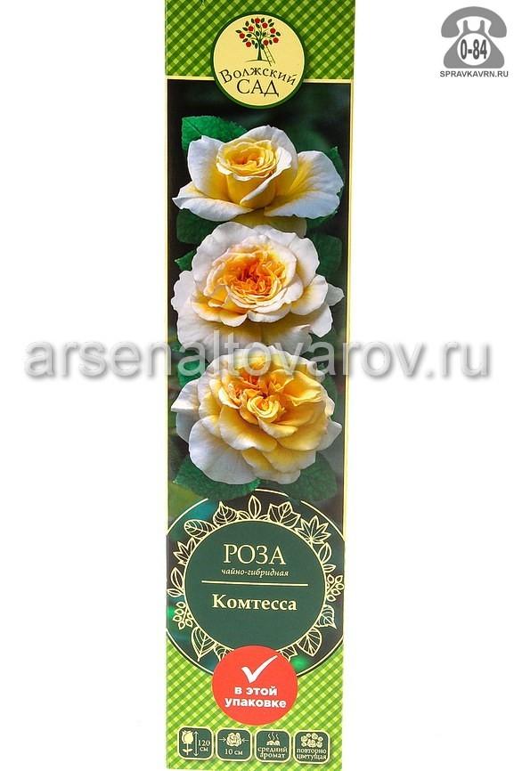 саженцы роза чайно-гибридная Комтесса кремово-желтая (Россия)