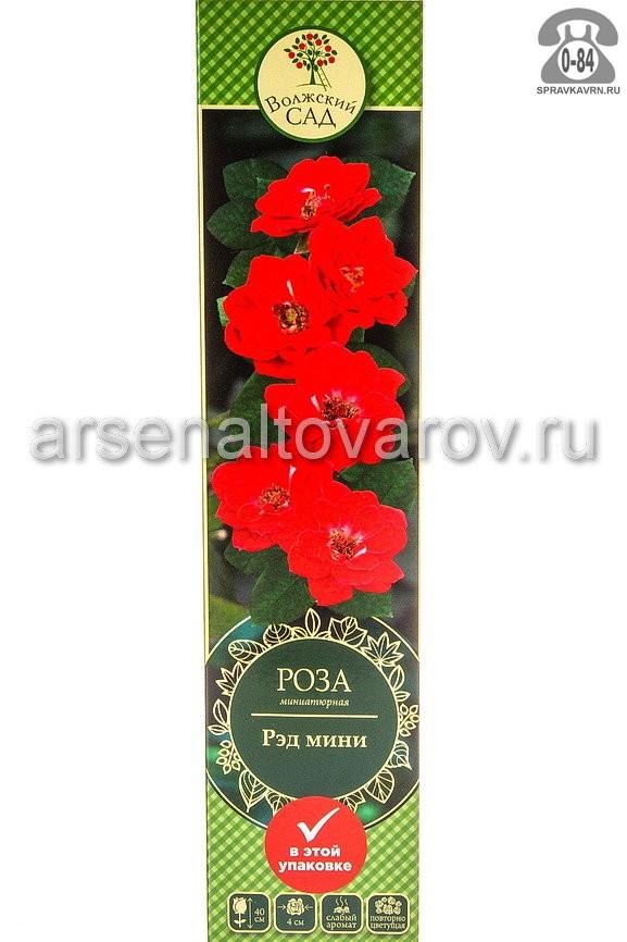 Саженцы декоративных кустарников и деревьев роза миниатюрная Ред Мини кустистый лиственные зелёнолистный махровый темно-красный открытая Россия