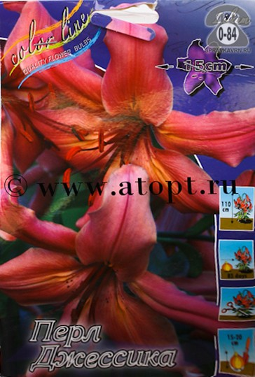 Клубнелуковичный цветок лилия тетраплоидная Перл Джессика