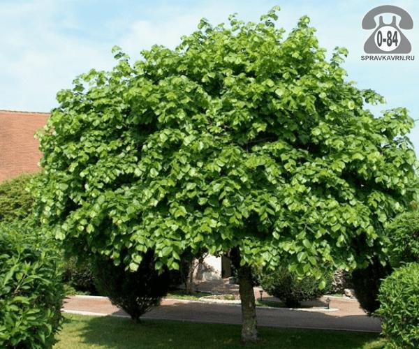 Саженцы декоративных кустарников и деревьев липа лиственные зелёнолистный закрытая С3 0.7 м Россия