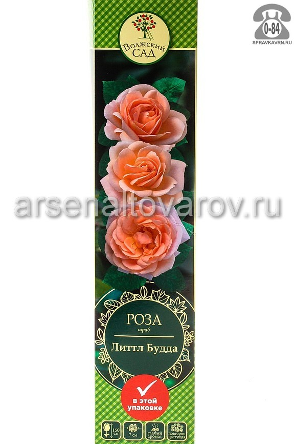 саженцы роза шраб Литтл Будда абрикосовая с желтым (Россия)
