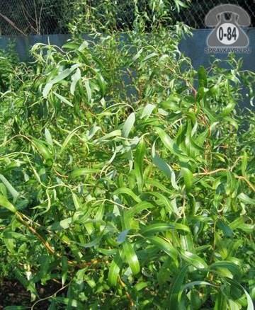 Саженцы декоративных кустарников и деревьев ива матсуды (матсудана) лиственные закрытая