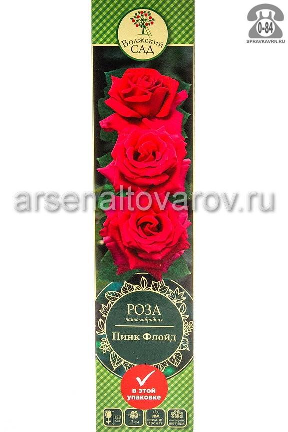 Саженцы декоративных кустарников и деревьев роза чайно-гибридная Пинк Флойд кустистый лиственные зелёнолистный бокаловидный ярко-розовый открытая Россия