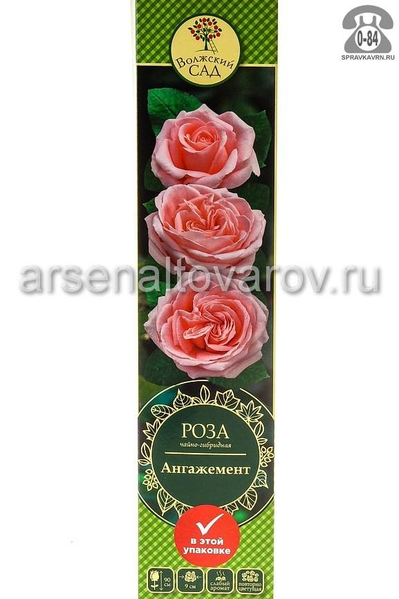 Саженцы декоративных кустарников и деревьев роза чайно-гибридная Ангажемент кустистый лиственные зелёнолистный бокаловидный нежно-розовый открытая Россия