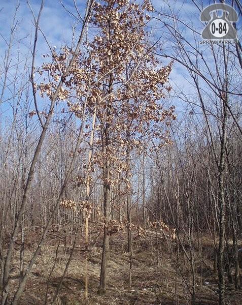 Саженцы декоративных кустарников и деревьев дуб обыкновенный (черешчатый, летний, английский) лиственные