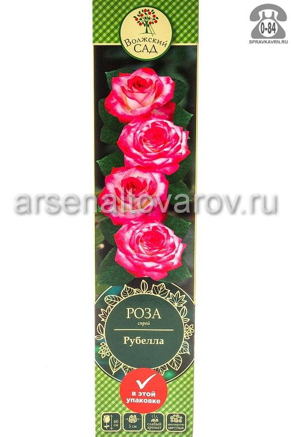 Саженцы декоративных кустарников и деревьев роза спрей Рубелла кустистый лиственные зелёнолистный махровый нежно-розовый открытая Россия