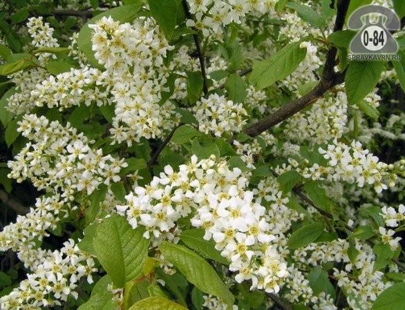 Саженцы декоративных кустарников и деревьев черёмуха обыкновенная (птичья, кистевая) лиственные