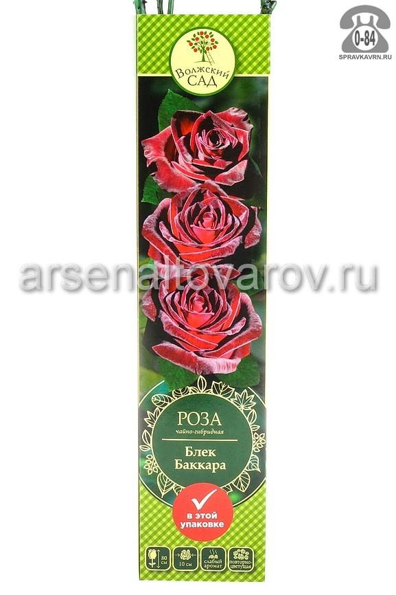 Саженцы декоративных кустарников и деревьев роза чайно-гибридная Блэк Баккара кустистый лиственные зелёнолистный чашевидный красно-черный открытая Россия