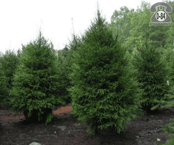 Саженцы декоративных кустарников и деревьев хвойные