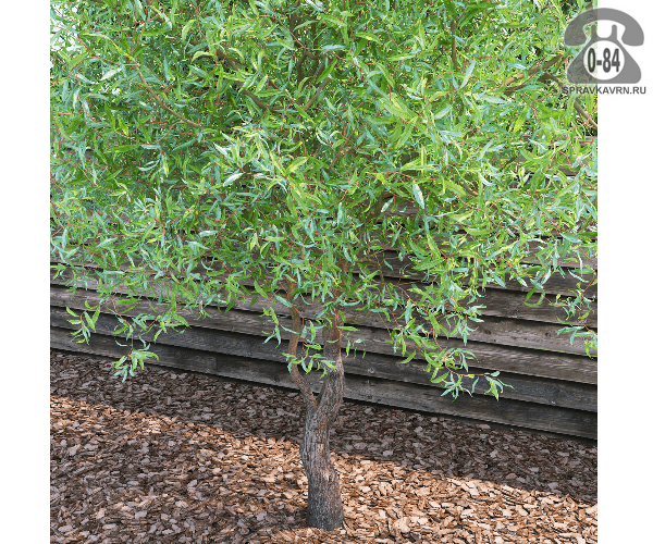 Саженцы декоративных кустарников и деревьев ива матсуды (матсудана) Тортуоза (Tortuosa) кустистый лиственные зелёнолистный закрытая С3