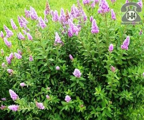 Саженцы декоративных кустарников и деревьев спирея Биллард (Billardii) лиственные розовый закрытая Россия