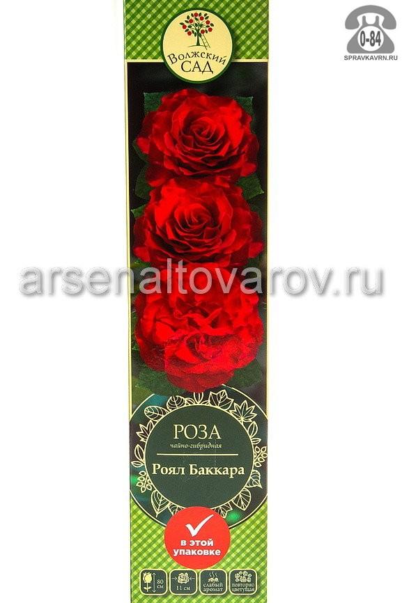 Саженцы декоративных кустарников и деревьев роза чайно-гибридная Роял Баккара кустистый лиственные зелёнолистный бокаловидный темно-красный открытая Россия