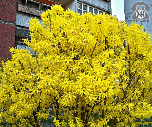 Саженцы декоративных кустарников и деревьев форзиция (форсайтия) кустистый лиственные зелёнолистный колокольчатый жёлтый закрытая С3 0.4 м