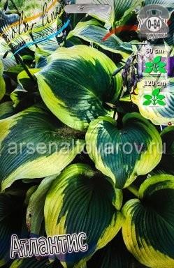 Посадочный материал цветов хоста Атлантис многолетник корневище 2 шт. Нидерланды (Голландия)