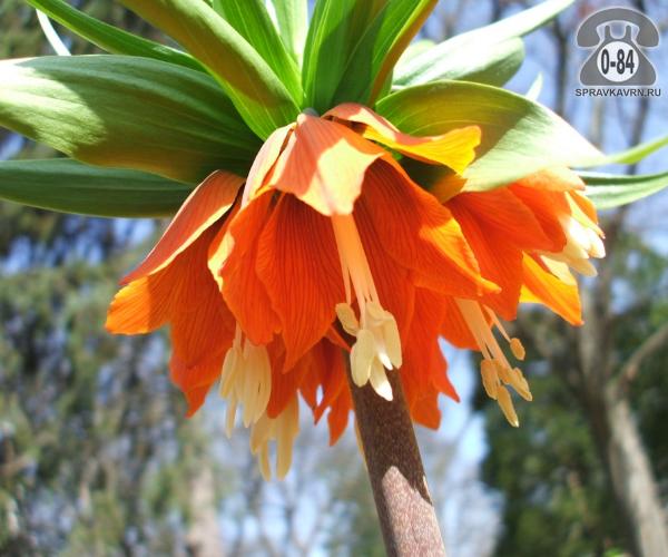 Посадочный материал цветов рябчик (фритиллярия) Рубра (Rubra) гибрид многолетник оранжевый луковица 1 шт. Нидерланды (Голландия)