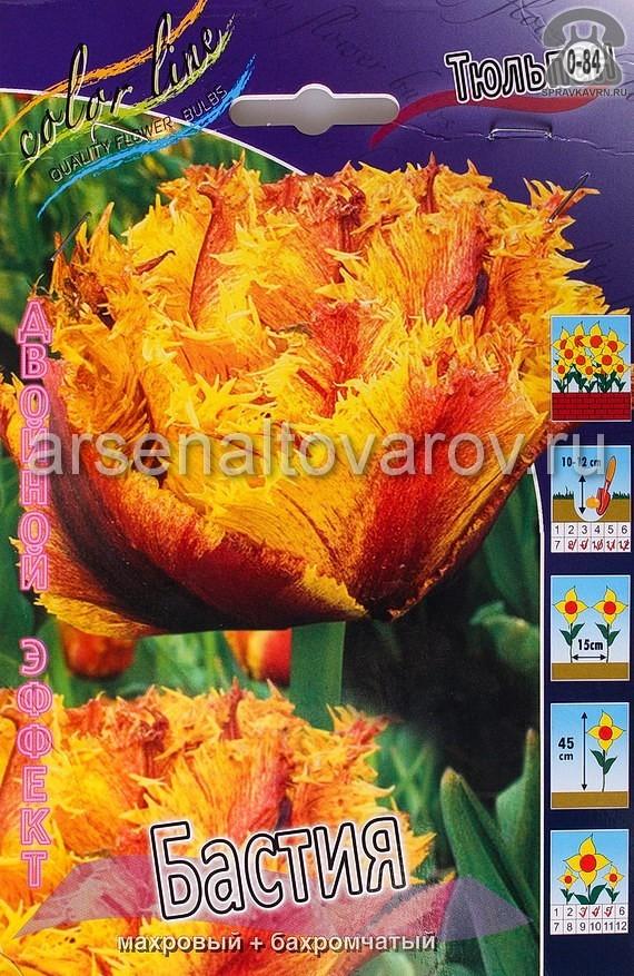 Клубнелуковичный цветок тюльпан Двойной Эффект Бастия